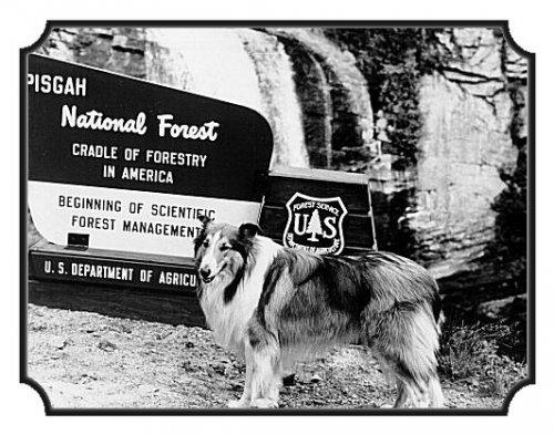 lassie_pisgahnf_1961.jpg